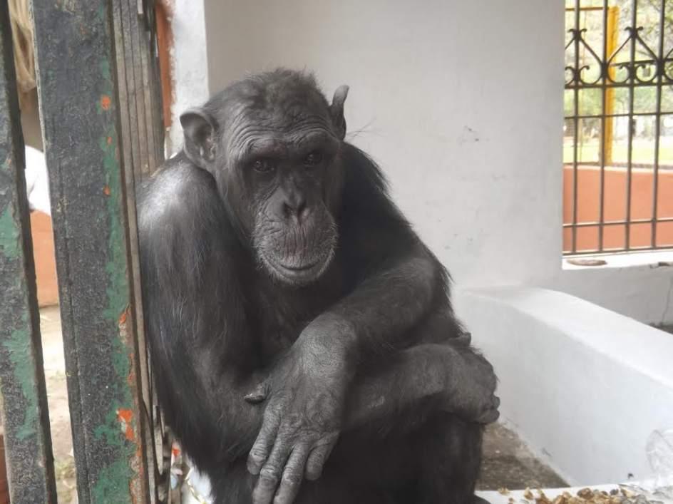 chimpance Adan lo hallan muerto en Mallorca